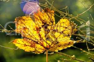 herbstlich verfärbtes Ahornblatt im Gegenlicht