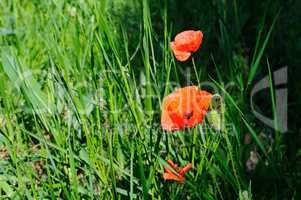 Scarlet poppies against the background of green grass.