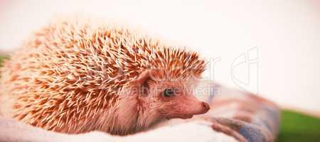 Porcupine on towel