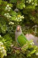 MS Monk Parakeet parrot (Myiopsitta monachus) perching on tree b