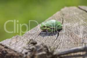 Europäische Laubfrosch - Hyla arborea