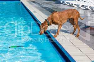 hungarian hunting dog Magyar Vizsla