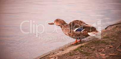 Mallard duck perching by lake