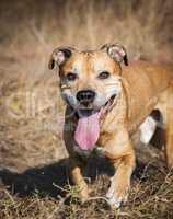 smiling redhead American pit bulls