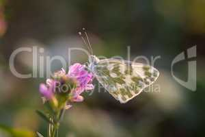 Butterfly Marbled White (Melanargia galathea) on the flower