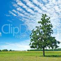 Oak tree on green meadow and sky