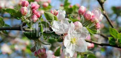 Flowers of an apple tree. Shallow depth of field. Focus on the f