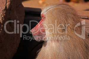 Baboon Papio hamadryas pavian close up portrait