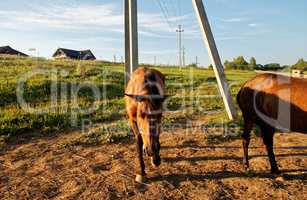 horses on a farm in Russia in the summer
