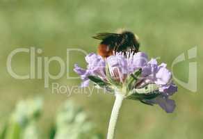 Honey Bee Pollinating purple flower