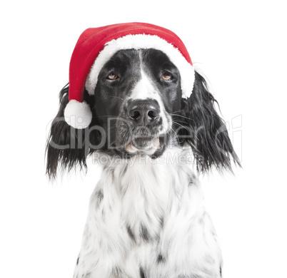 großer Münsterländer Weihnachten