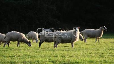 Flock of sheep or lambs grazing on grass in English countryside field