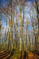Beautiful beech forest near town Olot in Spain, La Fageda