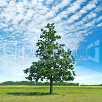 Oak tree on green meadow and sky