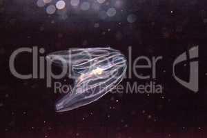 Comb jelly Phylum Ctenophora