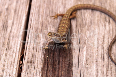 Southern Alligator lizard Elgaria multicarinata