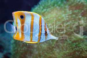 Copper-banded butterflyfish, Chelmon rostratus