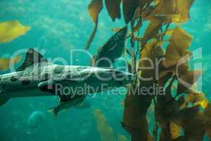 Leopard shark Triakis semifasciata is a species of carpet shark