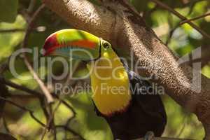 Keel-billed toucan Ramphastos sulfuratus