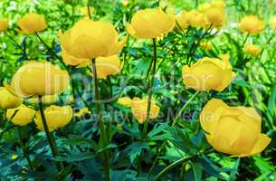 Beautiful yellow flowers Trollius asiaticus on flowerbed in gar