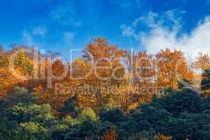 Beautiful beech forest in autumn near town Olot in Spain, La Fag