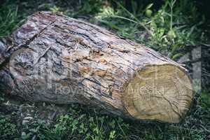 Cut down the trunk of a large pine.