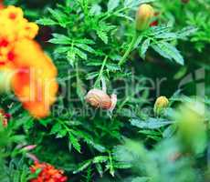 snail on orange flower marigold
