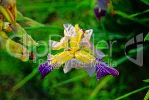 iris flowers in the evening in summer