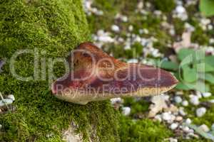 Beefsteak fungus on the forest