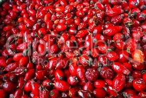 the rose-hip fruit tea, collect medicinal rose hips in autumn, r