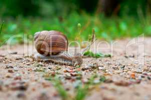 large snail, snail with shell and horns