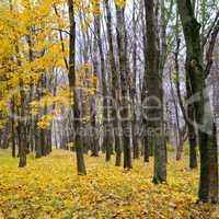 Autumn forest . Late fall. Overcast.