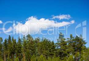 Pine forest under cloud on blue sky.
