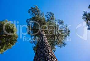 Looking up tall pine tree on blue sky.