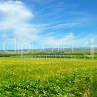 Wheat field and blue sky with light clouds.