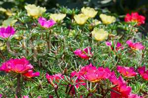 Bright flowers purslane in the flowerbed in the park. Focus on t