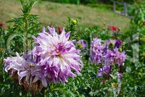 Light violet dahlia on flowerbed at summer park.