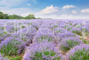 Picturesque lavender field with ripe flowers