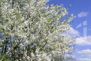 Spring flowers. Beautifully blossoming tree branch. Cherry - Sak
