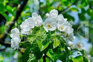 Flowering branch of pear blooming spring garden. Flowers pears c