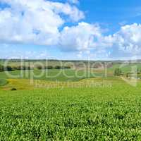 Picturesque green field and blue sky with light clouds.
