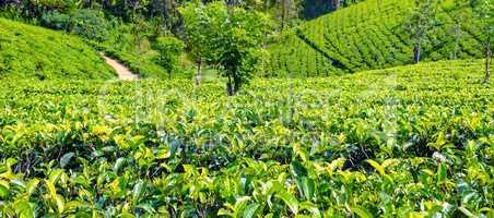 Tea plantation in up country near Nuwara Eliya, Sri Lanka. Wide