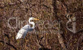 Great egret bird, Ardea alba, in a marsh