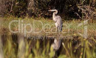 Great blue heron bird, Ardea herodias, in the wild