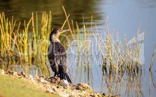 Double-crested Cormorant, Phalacrocorax auritus