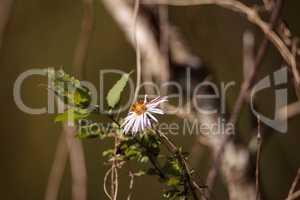 Climbing Aster flower Ampelaster carolinianus