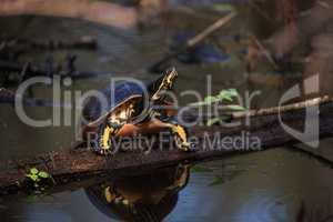 Florida redbelly turtle Pseudemys nelson perches on a cypress lo