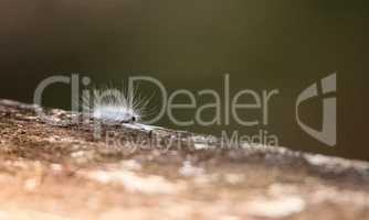 Fuzzy white caterpillar Virginian Tiger Moth Spilosoma virginica
