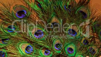 Spray of green and blue peacock feathers
