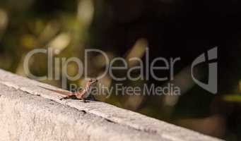 Brown Cuban anole Anolis sagrei perches on a fence